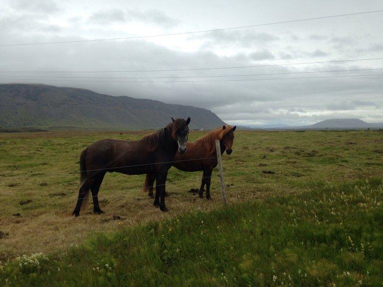 Icelandic horses in Selfoss